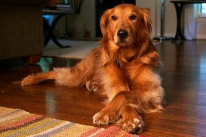 Both Goldens and Labs are lovable family dogs.