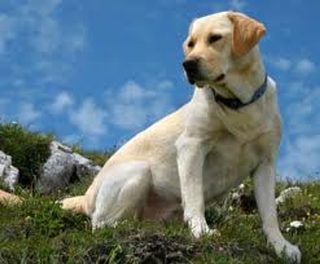 Labradors are intelligent and their training is a bit easier as opposed to some other breeds.