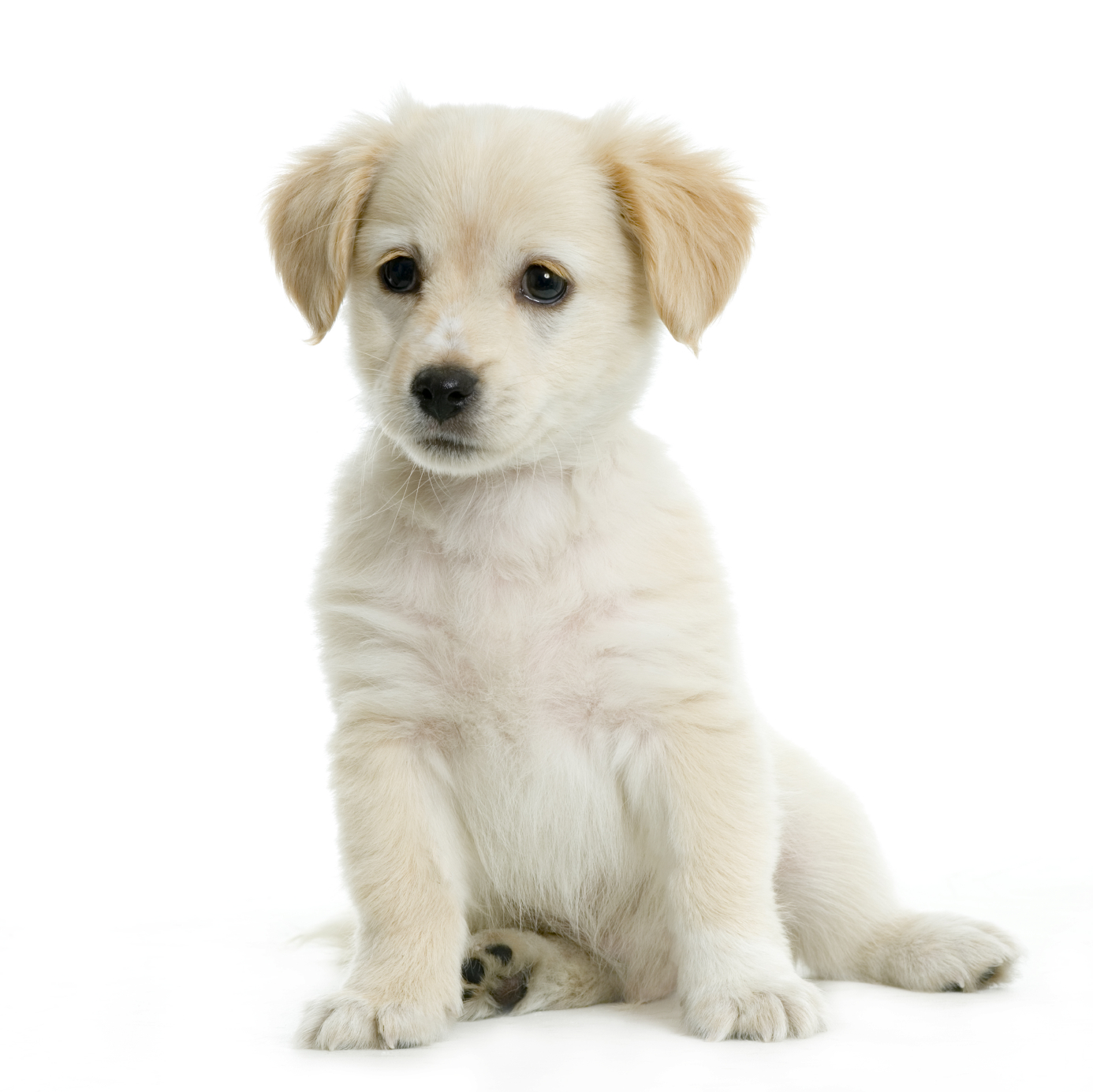 Get prepared before bringing home an adorable Golden Retriever puppy.