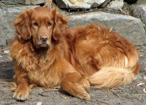 Golden Retrievers are among the most popular family pets.