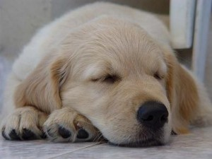 Some sleeping tips will improve your ability to manage when and how long your Golden Retriever sleeps.
