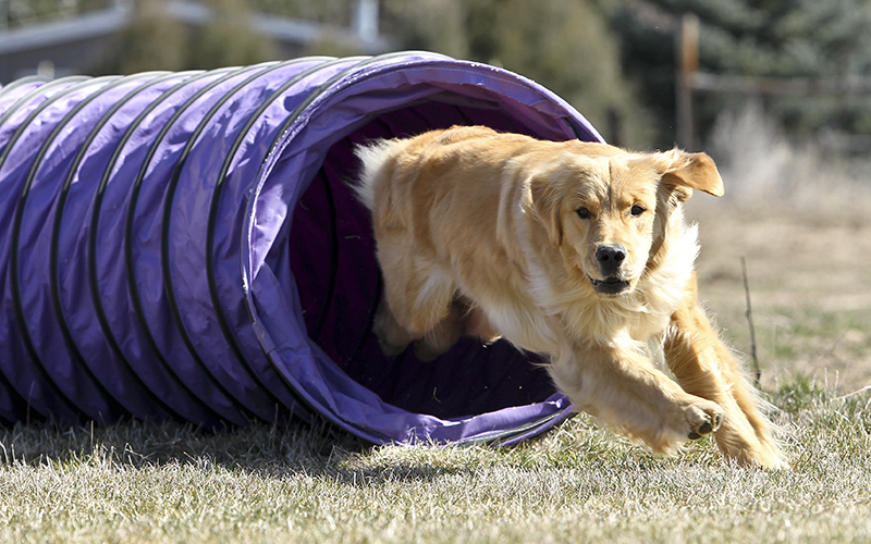 Consistency plays a key role in Golden retriever training.