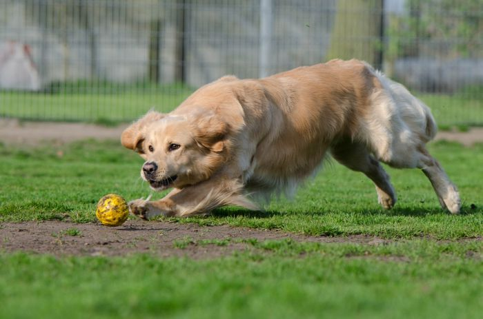 Golden Retriever playing outside