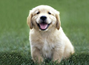 With the Mini Golden Retriever, owners with a small space can have the dog of their dreams.