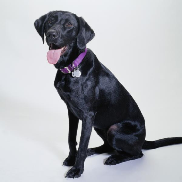 Labrador Retrievers come in several body shapes and sizes.