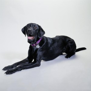 "The British Labrador is described as a ""calm and thoughtful hunting machine."""