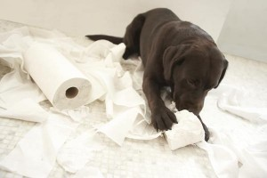 Labradors are intelligent, friendly, easygoing, and energetic dogs.