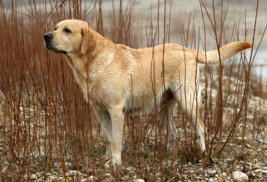 Labradors are easy to train and they are very social.