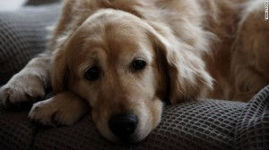 Golden Retriever's large floppy ears are a breeding ground for ear infections and ear mites.