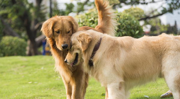 Goldens are multi-talented dogs.