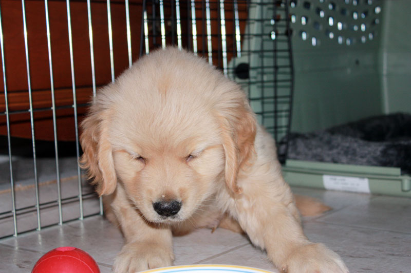 Goldens are a human attention- craving breed, so it isn't surprising they whine more frequently compared to other breeds of dog.