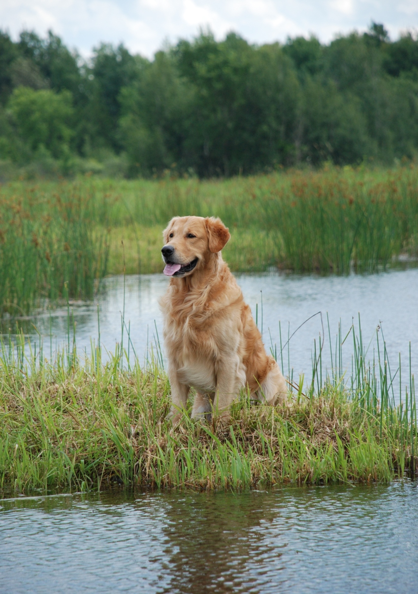 Golden Retriever is not a dog for everyone!