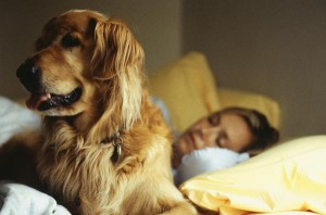 Goldens are at risk for a few genetic illnesses.