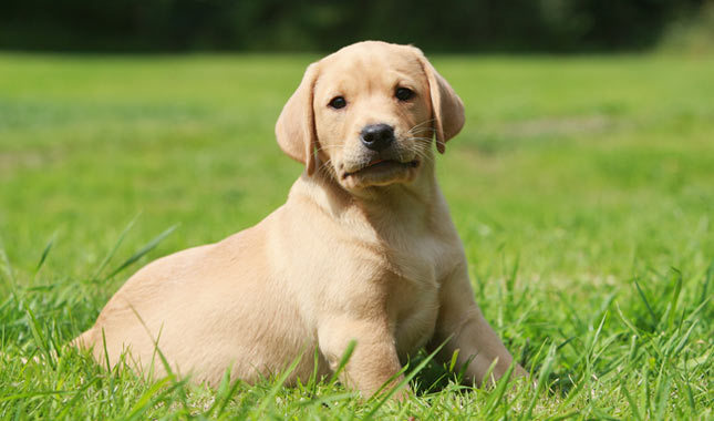 Labradors are good-looking, smart, and family-friendly dogs.