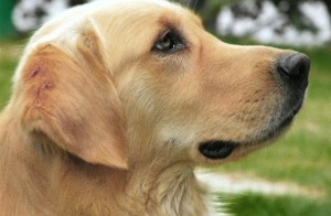 Labrador retrievers are active, intelligent, and excellent family dogs.