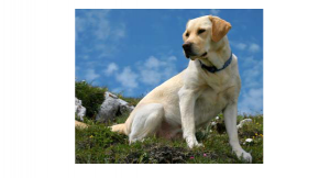 Labradors are among the easiest dogs to train.