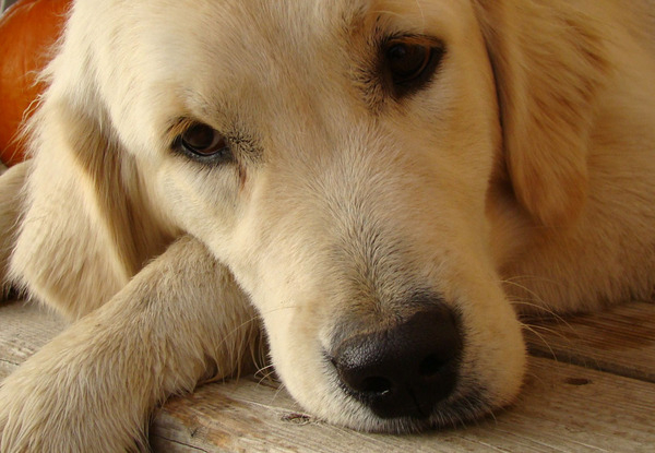 There are a number of things you can do to increase your Golden Retriever's lifespan.