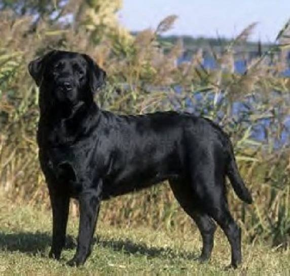 Labrador retrievers are a good choice for anyone who is looking for a companion.