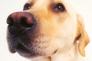 Yellow labs can suffer from a variety of skin allergies.