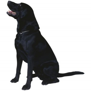 True Labradors are black, yellow, or brown.
