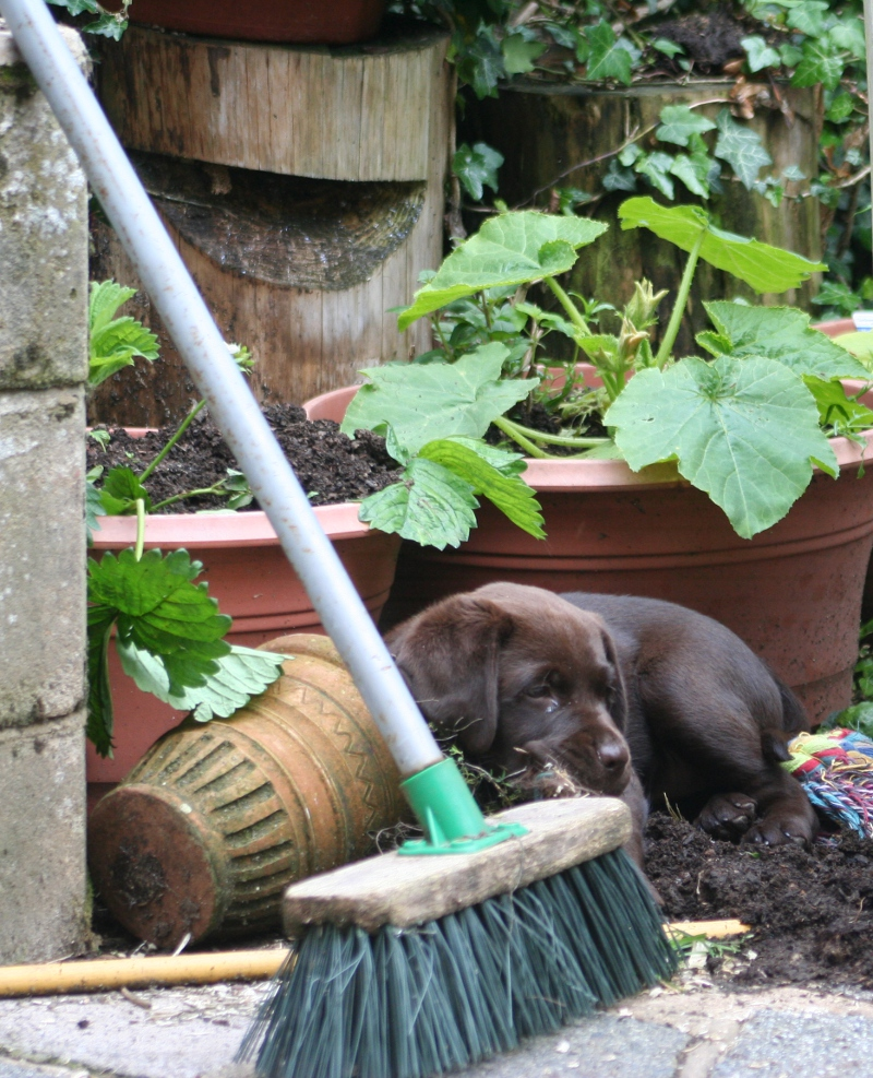 Labrador puppies love playing in the garden.