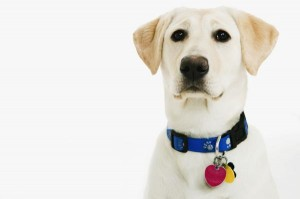 Dudley Labs are yellow Labs lacking pigmentation in their eyelids, lips, or nose.