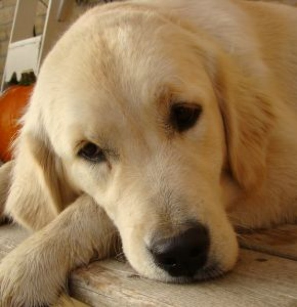 Clean your Golden's ears to have a happy pet.