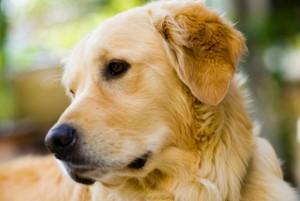 The differences between male and female Goldens are in physical features and behavior.