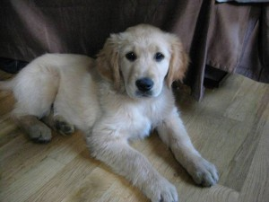 Golden Retriever puppies are intelligent and eager to please.