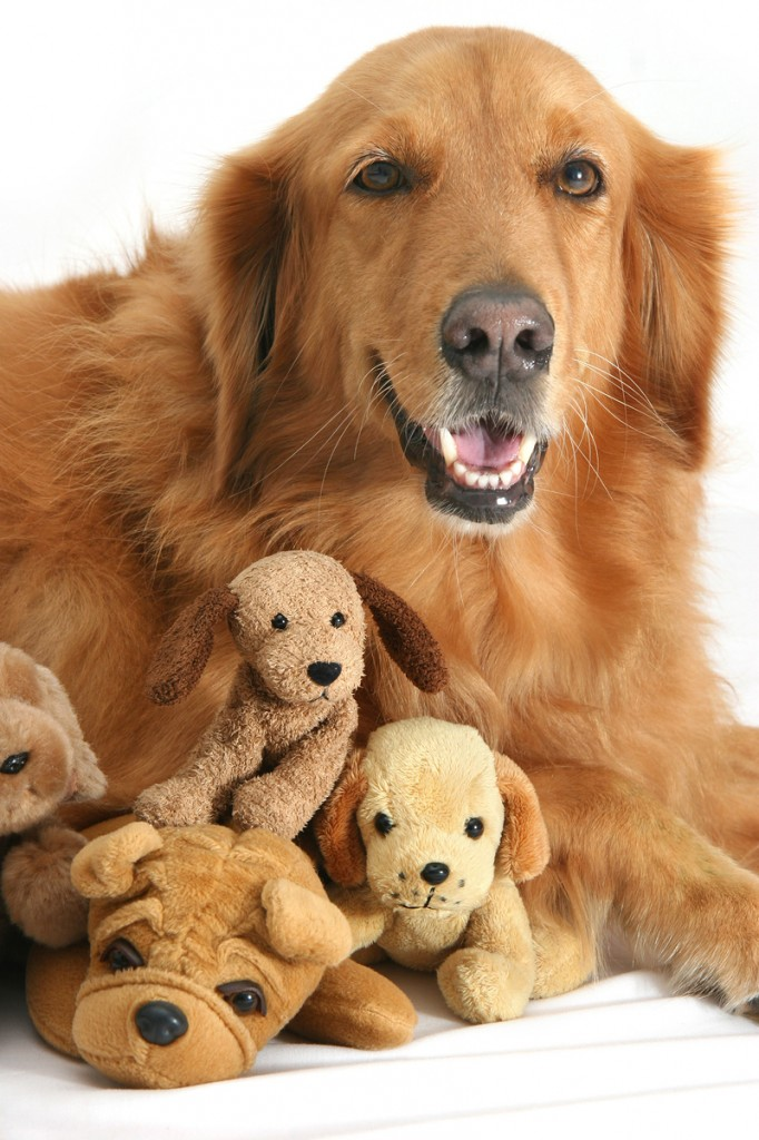 Goldens need a lot of attention.
