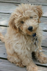 Goldendoodles tend to be larger then Labradoodles.