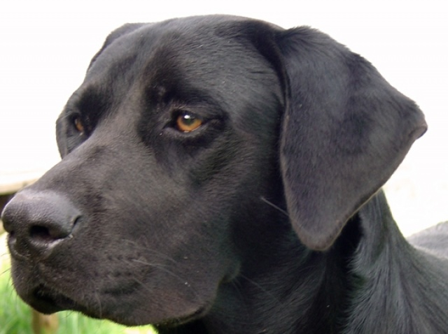 Labs are awesome dogs.