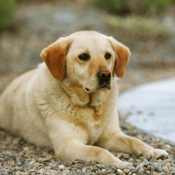 Labrador's pregnancy is divided into three trimesters.