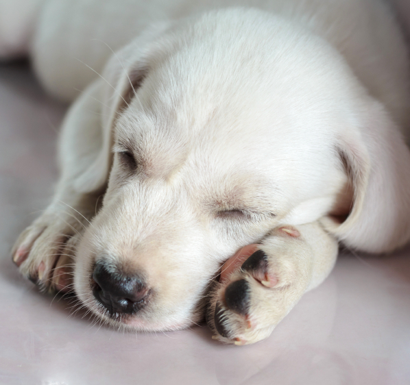 Labrador Retrievers's Health: Medicines and Their Side Effects