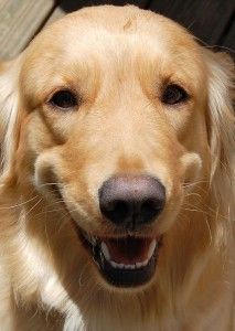 It is easy to distinguish the English Golden Retriever from its American counterpart.