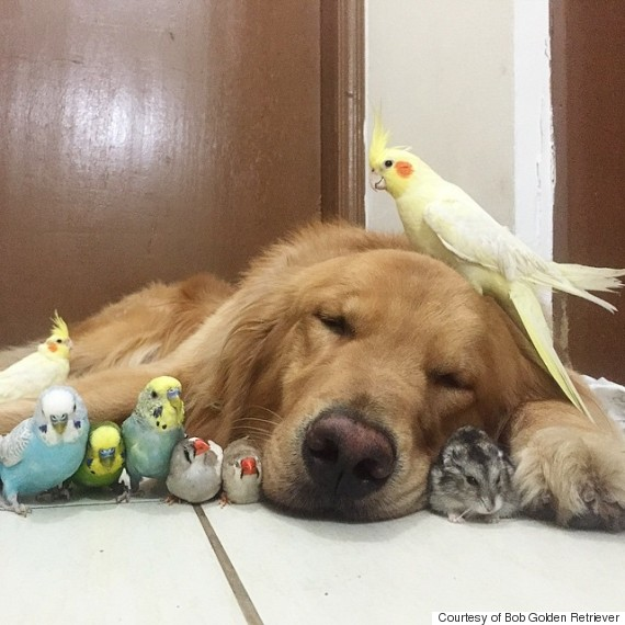 Bob golden retriever with birds