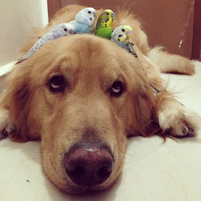 Golden Retriever with birds on his head