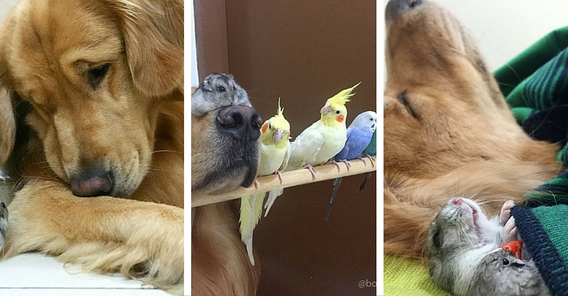 Golden retriever loves animals